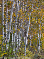 Aspen Grove, Bishop Canyon (Eastern Sierra Nevada) (Robin Black Photography) Tags: california autumn orange detail tree leaves yellow landscape colorful fallcolor grove ngc trunk aspens aspen sierranevada hwy395 bishop naturesbest highsierra nationalgeographic owensvalley highway395 easternsierra whitebark populustremuloides rangeoflight outdoorphotographer bishopcanyon canon5dmarkii robinblackphotography