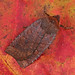 2259 Dark Chestnut (Conistra ligula)