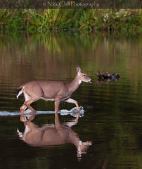 Wading Whitetail (Nick Chill Photography) Tags: ohio nature water animal fauna mammal photography nikon wildlife fineart animalia wading whitetail whitetaileddeer odocoileusvirginianus millcreekpark stockimage newportwetlands d300s nickchill whitetailruminant