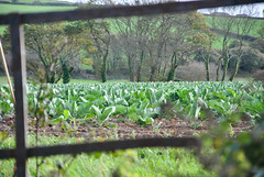 View Through Metal Gate Into Cabbage Field (A Laud) Tags: field gate cornwall farmers farm rusty cabbage cornish d3000