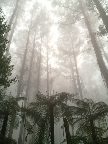 Gum trees in the mist, near Sherbrooke Falls