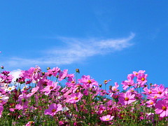 autumn sky (hamapenguin) Tags: blue autumn sky flower fall nature  cosmos