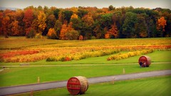 Autumn Landscape (blmiers2) Tags: autumn trees red orange newyork tree green fall nature yellow landscape vineyard nikon wine barrels winery autumncolors coolpix fingerlakes autumnal senecalake glenora s3000 blm18 blmiers2