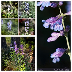Lupine Collage (sandyb49) Tags: blue nikon wildflowers lupines grandtetonnationalpark diptic dynamiclight ipadapps