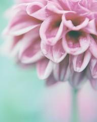 *Dahlia (fangchun15) Tags: flower 120 film nature japan tokyo kodak explore 6x7 portra400 pentax67 ダリア 大理花
