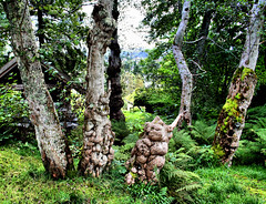 Trolls are everywhere! (larigan.) Tags: wood trees nature ferns lesund burrs aalesund burls larigan borgundgavlen phamilton ginordicsept treetumours trollformations