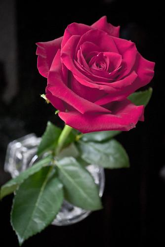 Beautiful Rose DSC_7511 by andrey.salikov