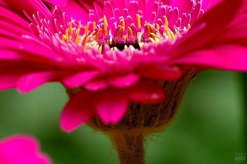 Side Pink by fs999