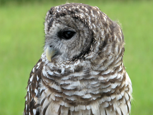 Mrs. P the Barred Owl