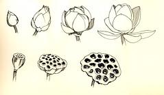 Lotus bud and pod lifetime (khylin) Tags: flower ink sketch stem pod lotus paste bud