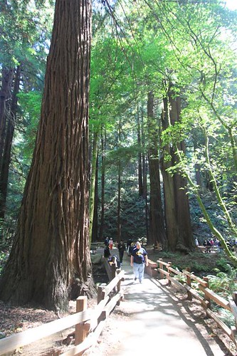 Giant Redwoods along the trails