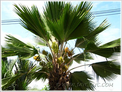 Pritchardia pacifica (Fiji Fan Palm, Pacific Fan Palm) with gorgeous fronds and inflorescences, March 27 2011