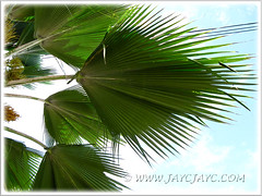 Pritchardia pacifica (Fiji Fan Palm): the underside of its fan-shaped leaves, March 27 2011