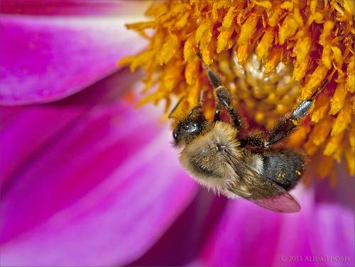 pollen & bee by Alida's Photos