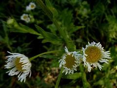 Erigeron annuus subsp. septentrionalis (Fernald & Wiegand) Wagenitz, Nordis, NGID1208842711 (naturgucker.de) Tags: wien sterreich naturguckerde nordischereinjhrigerfeinstrahl erigeronannuussubspseptentrionalis crolftheodorborlinghaus praterbrcke ngid1208842711