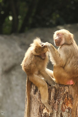 The Soother (konrad_photography) Tags: zoo nc blind monkeys baboon baboons