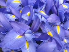 Blue Iris (shaire productions) Tags: life flowers blue iris plants plant flower detail macro nature floral beauty yellow photography living photo petals pattern purple natural image display group petal number growth photograph vegetation irises numerous