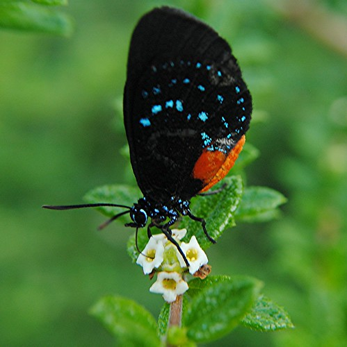 Newly hatched extremely rare Atala nectaring on Moujean Tea flowers by jungle mama