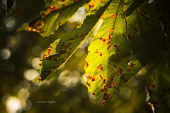 autumn lights (Tafelzwerk) Tags: autumn berlin green leaves deutschland gold lights golden leaf nikon dof bokeh herbst depthoffield grn bltter atmosphre stimmung lichter blat hellersdorf nikkor85mm nikkor85mmf18 d7000 nikond7000 tafelzwerk tafelzwerkde