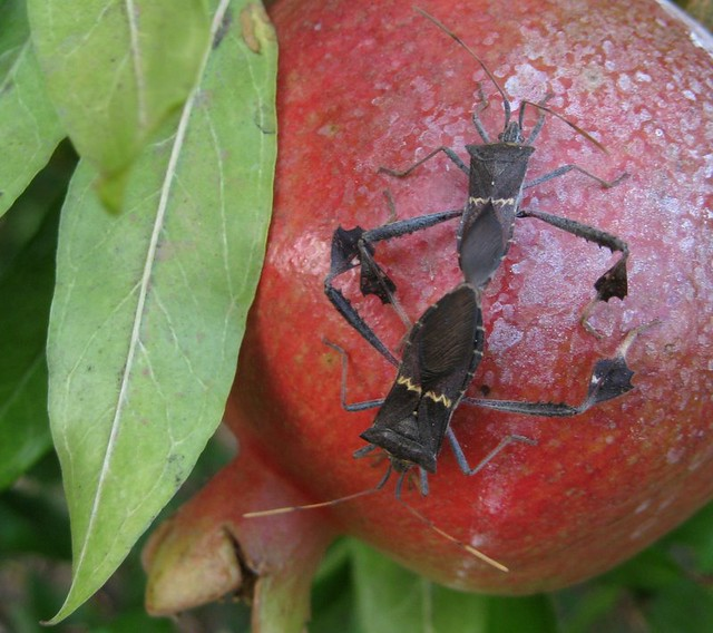 mating on a pomegranate