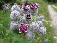 [photo-burdock weed flower]