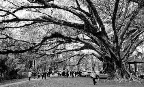 Árvore centenária no Jd da Luz by kassá