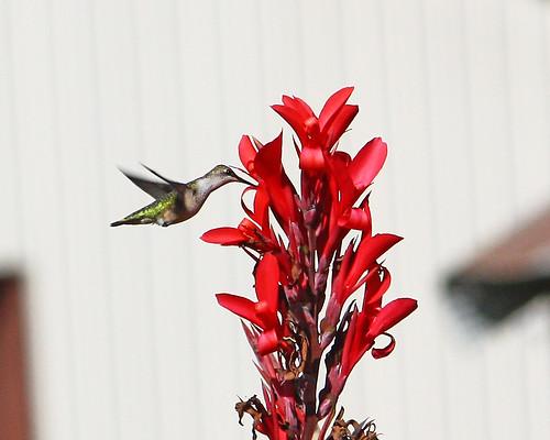 Hummingbird by the cannas