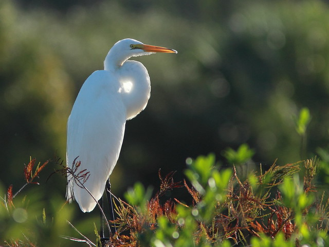 Great Egret 20110925