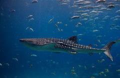 Whale shark  (Rhincodon typus) by brian.gratwicke, on Flickr