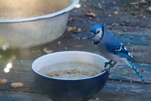bluejay drinking