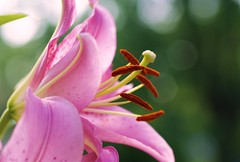 Lily (j man ) Tags: lighting morning friends flower macro nature field lens petals illinois flickr dof lily bokeh background sony details favorites views dreamy tamron depth stigma comments groups mygearandme
