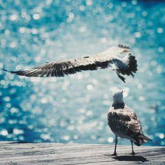I hear and I forget. I see and I remember. I do and I understand. (www.juliadavilalampe.com) Tags: barcelona blue summer espaa naturaleza seagulls animals puerto fly spain europa bokeh alas verano animales gaviotas fliegen aprender volar ensear