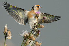 European Goldfinch (Carduelis carduelis) (m. geven) Tags: autumn bird fall nature animal fauna colorful feeding eating thistle goldfinch herfst nederland thenetherlands natuur colourful dier avian vogel avifauna kleurrijk distel gelderland putter fringillidae foraging uiterwaard nld najaar cardueliscarduelis europeangoldfinch jaarvogel kaardebol liemers passerine stieglitz zangvogel nazomer chardonneret geldersepoort migratingbird gardenbird etend rivierengebied distelvink breedingbird tuinvogel riverforelands fourageren broedvogel doortrekker vinkachtige gemeentezevenaar foeragerend parkvogel nederlandthenetherlandspaysbasniederlande distelzaad