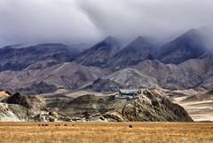 Hanle Gompa (Prabhu B Doss) Tags: red india hat barley cow nikon border buddhism tibet monastery fields tibetan kashmir leh himalayas grazing ladakh gompa travelphotography ladakhi jammuandkashmir 2011 bikeexpedition incredibleindia d80 transhimalaya hanle prabhub prabhubdoss zerommphotography 0mmphotography