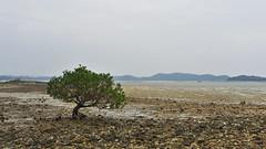 Tidal Flat, C T Island (vnkht) Tags: tree landscape island lumix flora raw flat coto vietnam lone solitary tidalflat 2011 vitnam quangninh lx5 o qungninh ct cotoisland oct gavinkwhite