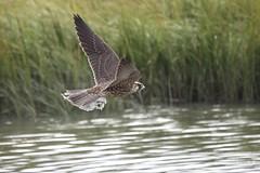 """""""Peregrine Falcon""""  """"Falco  peregrinus"""" (jackhawk9) Tags: nature birds canon newjersey wildlife ngc raptor falcon southjersey birdofprey peregrinefalcon falcoperegrinus edwinbforsythenationalwildliferefuge jackhawk9"""