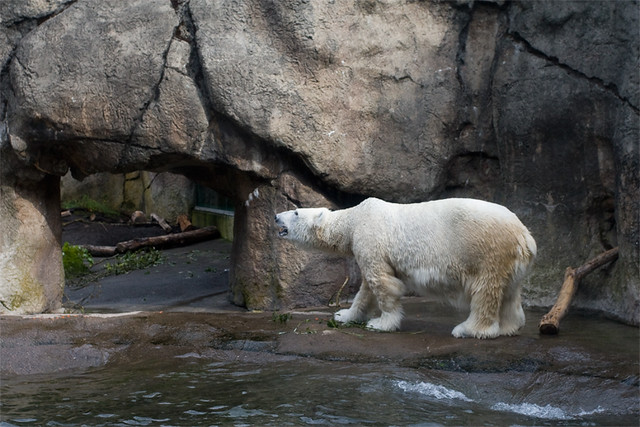 zoo_polar_bear