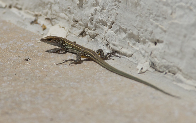 juvenile atlantic lizard