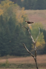 Red-tailed Hawk DSC_3083 by Mully410 * Images