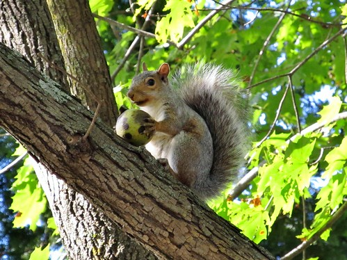 Gray squirrel with walnut