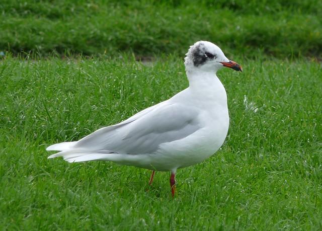 25163 - Mediterranean Gull, Sandy Water Park
