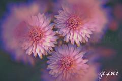 2011-10-07 [156] for mom's chrysthanthemums three (Badger 23 / jezevec) Tags: pink flower fleur flor bunga  blume fiore roze bloem chryzantema        chrysanthemen kvt kasmpat chrysthanthemum    vbr   krysantemum rowa    seruni krizantm  pokok wabigon  rausva okseje skaistaied kekwa  crisantemu krysanteemit i