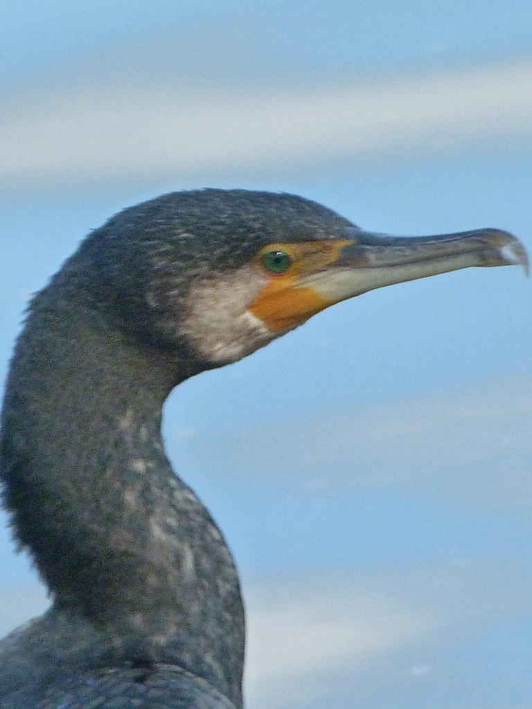 13-10-2011-cormorant