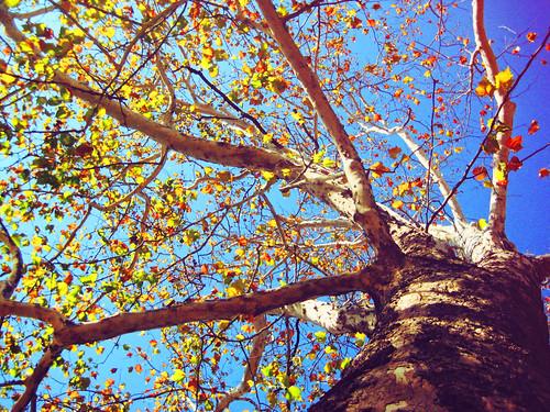 birch tree copy