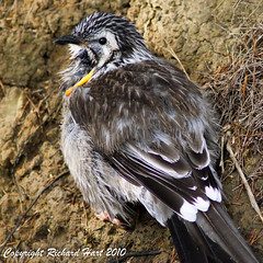 Yellow Wattlebird (SillyOldBugger (in and out of internet range)) Tags: wild bird australian australia aves tasmania wattlebird avian wildbird anthochaera yellowwattlebird sonydslra200 anthochaeraparadoxa sonyalpha200 wildbirdaustralia