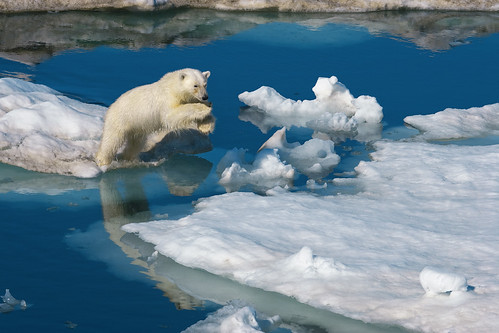 無料写真素材, 動物 , 熊・クマ, ホッキョクグマ・シロクマ, 跳ぶ・ジャンプ