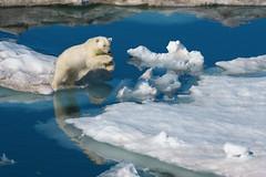 [フリー画像素材] 動物 1, 熊・クマ, ホッキョクグマ・シロクマ, 跳ぶ・ジャンプ ID:201111011200