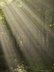 Veil of Rays (yvonnepay615) Tags: uk trees nature woodland lumix woods norfolk panasonic g1 rays 45mm eastanglia coth lynford fantasticnature itsawonderfulworld naturesgreenpeace esenciadelanaturaleza