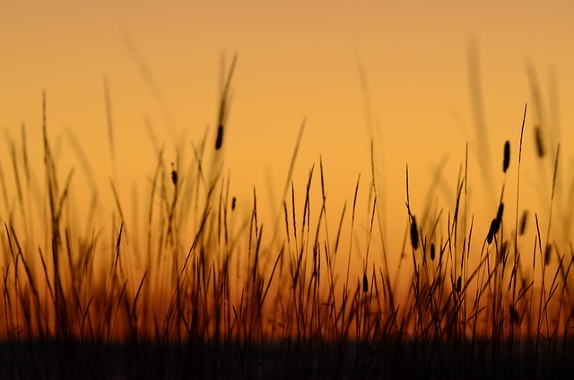 Grasses after Sunset