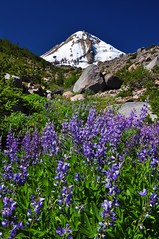 Lupine on the mountain (Just Peachy!) Tags: oregon mthood wildflowers lupine cooperspur mthoodnationalforest mthoodwilderness